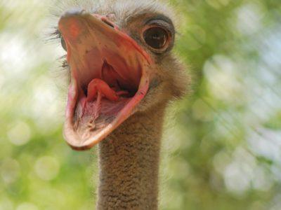 Jade Bracke (°2000): eerste prijs met de foto 'Struisvogel'